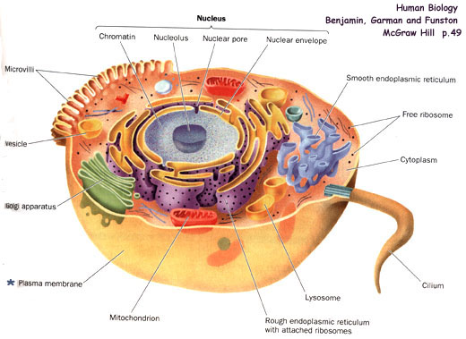 Sel jaringan dan membran sel biofarmasiumis blog sel ccuart Choice Image
