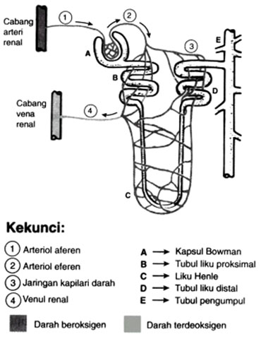 Gambar Diagram Nefron on wiring diagram hooter relay